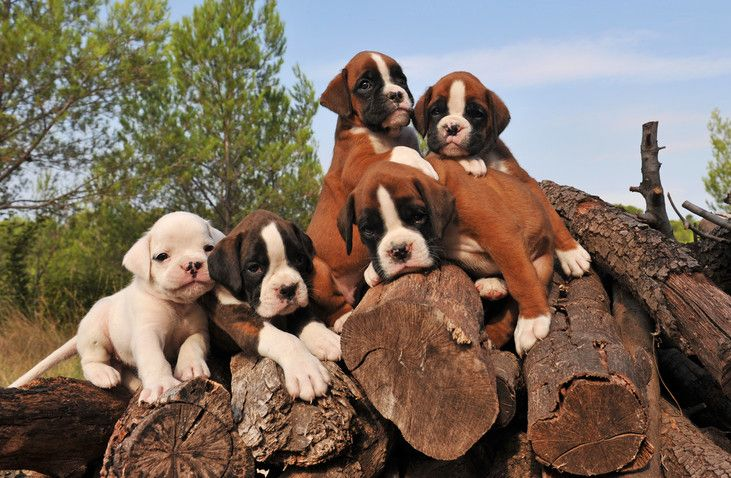 Boxer puppy training tips