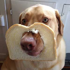 can dogs digest bread