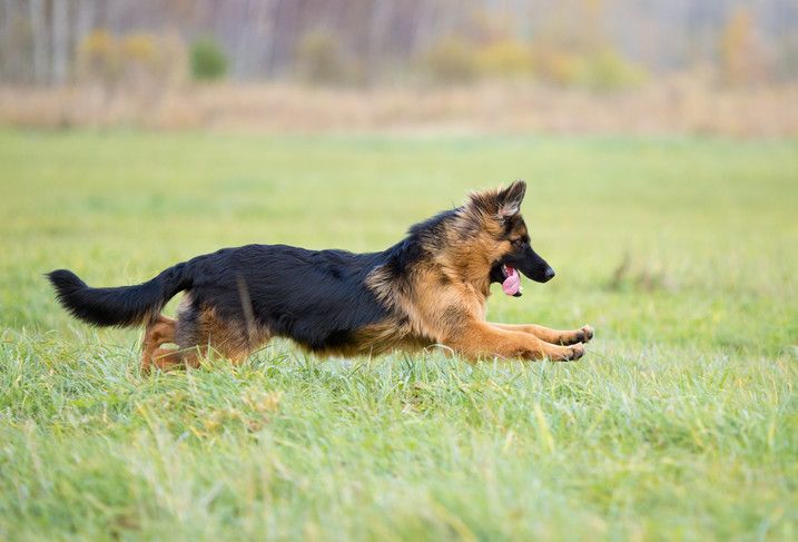 Long haired german shepherd traits – Dogs in our life ...