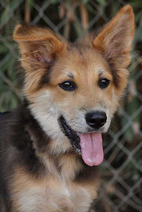 Shepherd Collie Mix Puppy