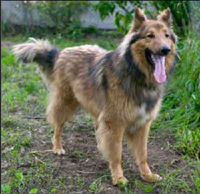 German Shepherd Border Collie Mix Shollie One Of The
