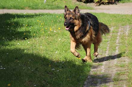 German shepherd Average Life expectance