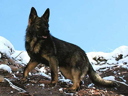 ddr-german-shepherd2
