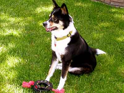 The Border Collie Husky Mix Is This Smart Active Dog