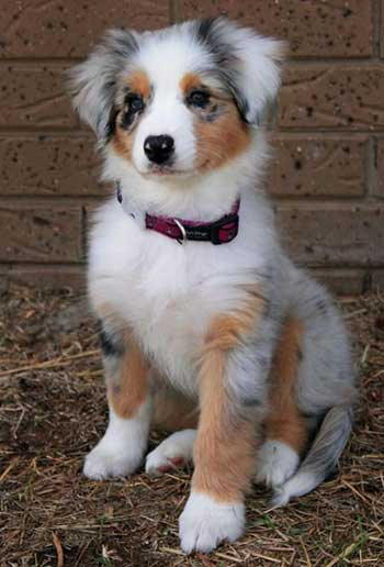 The Pomeranian Australian Shepherd Mix Much More Than