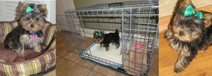 How to potty train a yorkie on puppy pads