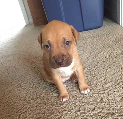 Boxer Mix Dog Breed Puppies Wiring Diagrams