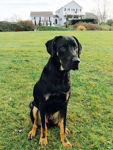 Rottweiler mixed with Great Dane