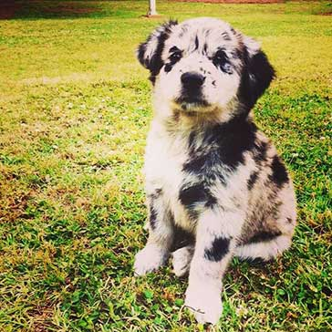 australian shepherd mixed with lab