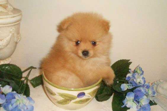 The Teacup Pomeranian Does It Exist And If So It Is A