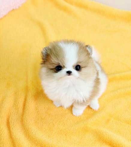 The Teacup Pomeranian: Does It Exist And, If So, It Is A ...