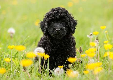 Miniature Black Poodle Coat