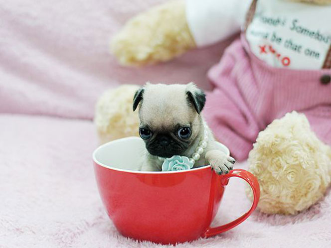 Teacup Miniature Pug The Chug