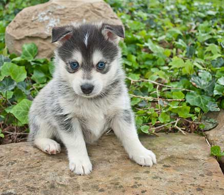 are pomskies real