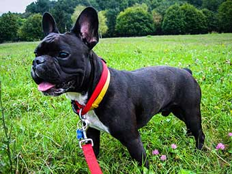 black French Bulldog shedding