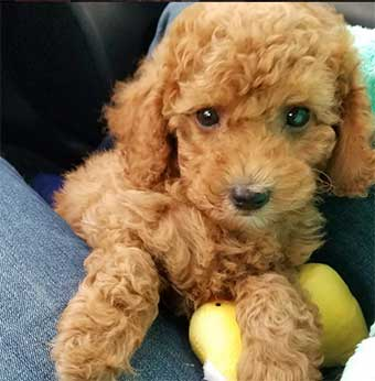 Chocolate Mini poodle