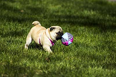 pug dog breed average cost
