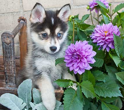 physical features of pomsky