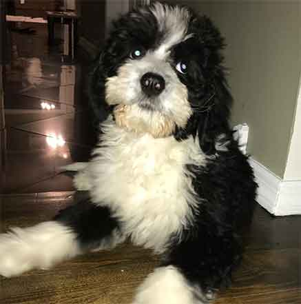 bernedoodle weight