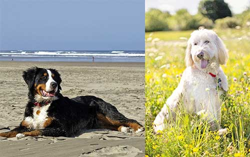 bernese mountain and poodle dog