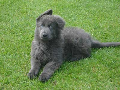 blue gsd personality