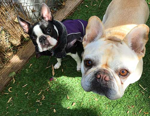 boston terrier and french bulldog dogs