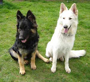 white gsd behavioral issues