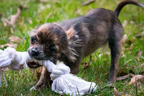 dealing with chihuahua aggression