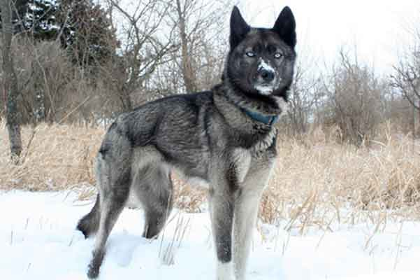 Large Dog Similar To Husky