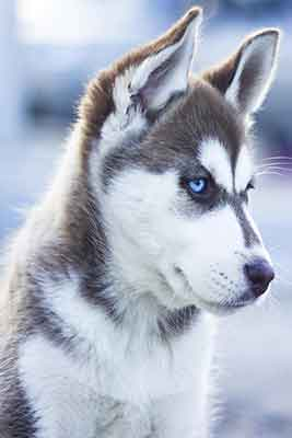 Husky with brown and white coat