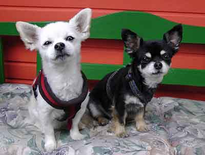 chihuahua training tips and techniques