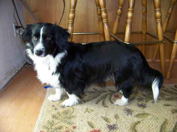 corgi collie mix dog