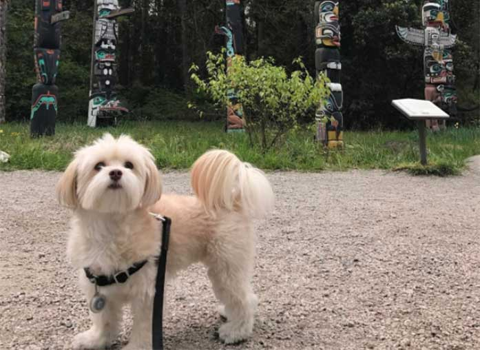 How Much Does A Havanese Dog Cost