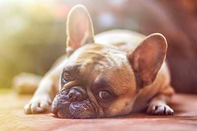 can dogs get migraines