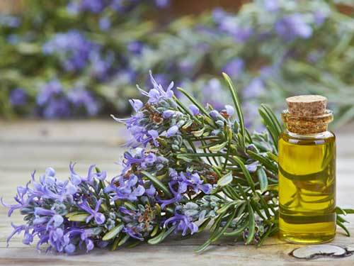 Rosemary essential oil for dogs to reduce stress