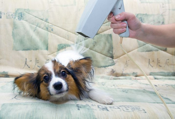 Papillon Dog Grooming Guide