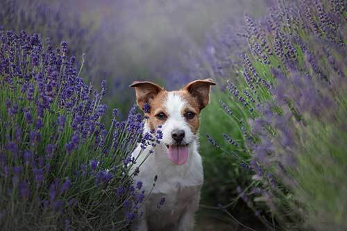 using essential oils to calm anxious dogs