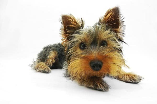 The Yorkshire Terrier