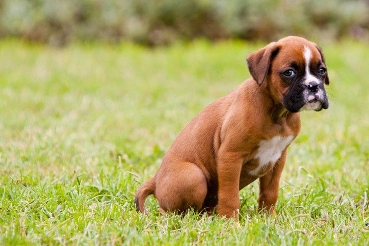 How To Potty Train A Boxer Puppy