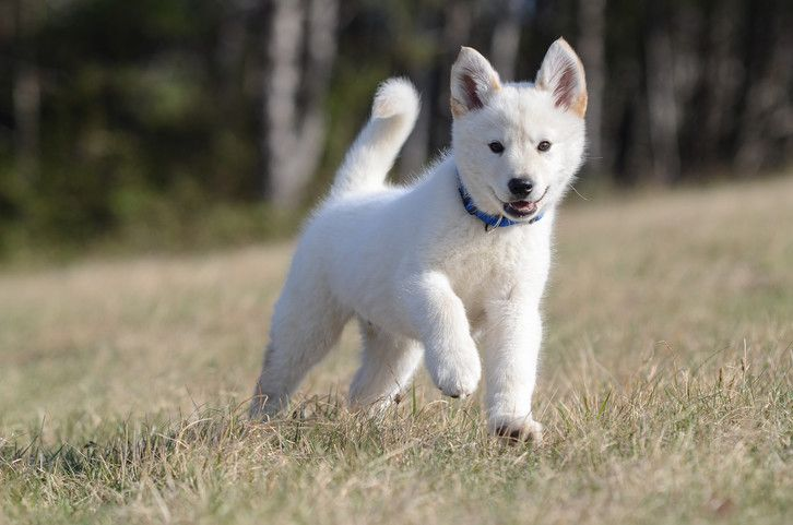 the husky shepherd mix is this hybrid right for your family