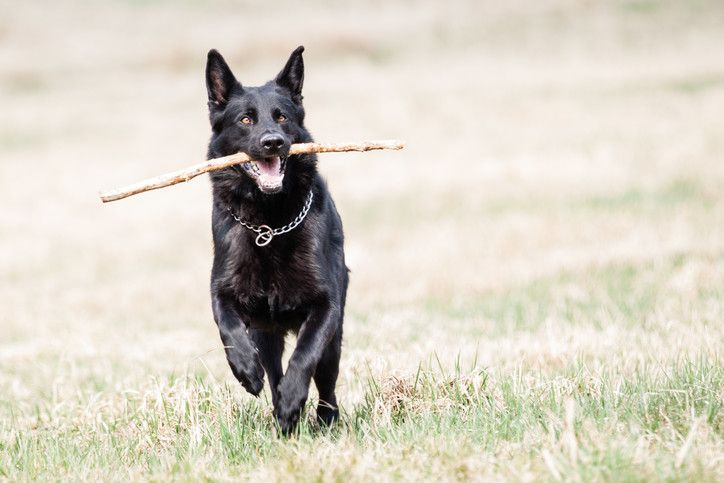 the black german shepherd everything you need to know about