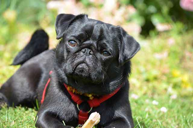 black pug training