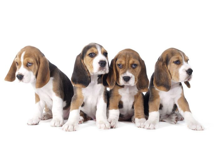 do beagles shed