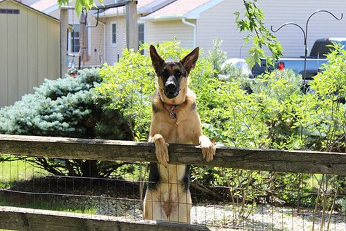 German-shepherd-Guard-Dog