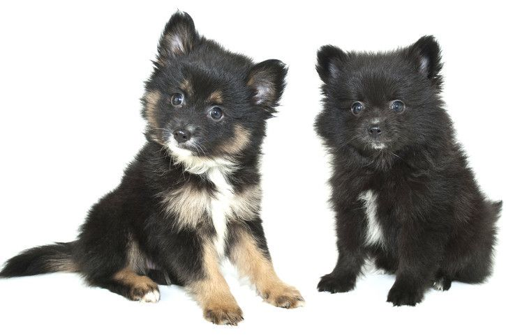 A Detailed Overview Of The Black Pomeranian A Spectacular