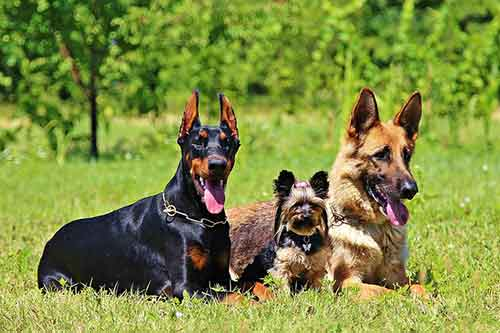 Doberman and German Shepherd on Grass