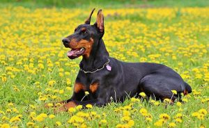 Doberman Dog Sitting in Field