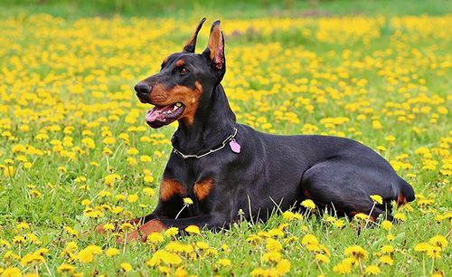 doberman-siting-in-field
