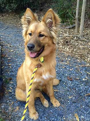 Collie Mixed With German Shepherd