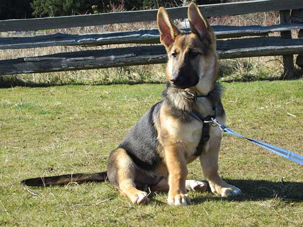 miniature german shepherd breed the miniature german shepherd the truth about this 5101
